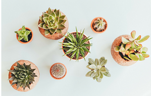 Image of succulent plants in pots